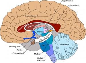 brain_diagram